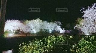 春,桜,夜,夜桜,樹木,ライトアップ,さくら
