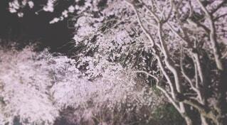 桜,夜,夜桜,ライトアップ,さくら