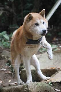 犬,動物,屋外,かわいい,岩,柴犬