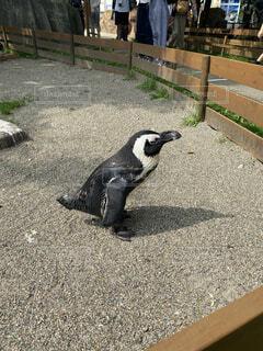 動物,鳥,屋外,ペンギン,コンクリート,地面,ねむい