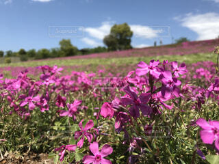 空,花,屋外,ピンク,紫,草,芝桜,草木