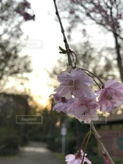 花,春,夕日,桜,ピンク,夕方,景色,樹木,外,草木