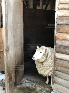 建物,冬,動物,雪,羊,家畜