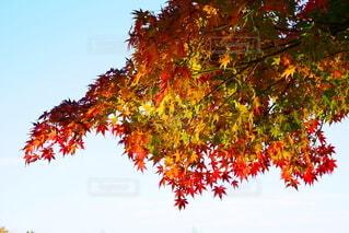 空,秋,紅葉,屋外,葉,もみじ,樹木,草木