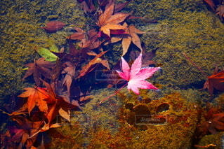 秋,紅葉,水,水面,葉,浮く,カエデの葉