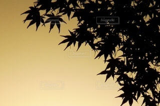 秋,紅葉,もみじ,影,シルエット,樹木,草木