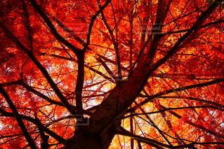 秋,木,屋外,赤,枝,もみじ,オレンジ,光,樹木