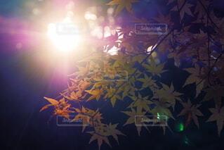 秋,紅葉,太陽,暗い,もみじ,光,明るい