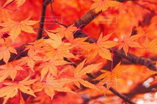 秋,赤,葉,樹木,草木