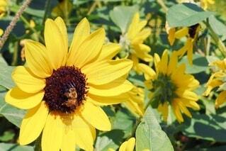 花,屋外,ひまわり,葉,景色,蜂,草木