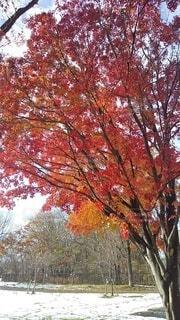 秋,紅葉,雪,屋外,赤,オレンジ,樹木,カエデ