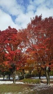 空,秋,紅葉,雪,屋外,赤,雲,樹木,草木,日中