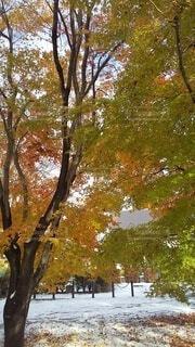 公園,秋,紅葉,雪,屋外,緑,枝,黄色,葉,オレンジ,樹木,草木,黄緑