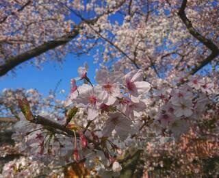 花,春,樹木,草木,さくら