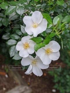 自然,風景,花,夏,白,バラ,花びら,草木,生花,アネモネ,フローラ,ロサ nutkana,常緑のバラ,イヌバラ