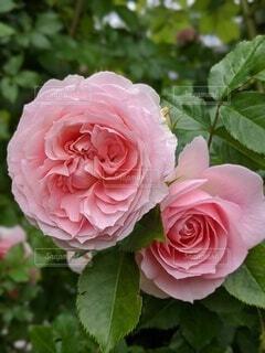 自然,風景,花,夏,ピンク,バラ,花びら,草木,生花,ハイブリッドティーローズ