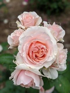 自然,花,白,バラ,景色,花びら,薔薇,rose,草木,生花,ブルーム