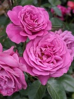 花,屋外,ピンク,バラ,景色,薔薇,rose,草木,フロリバンダ,ハイブリッドティーローズ