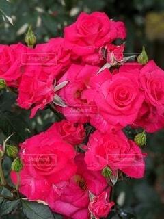 花,赤,バラ,薔薇,ローズ,rose,草木