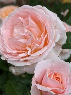 自然,花,屋外,ピンク,バラ,景色,花びら,装飾,rose,草木,生花,フロリバンダ,ハイブリッドティーローズ