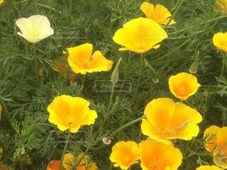 花,花畑,フラワー,黄色,オレンジ,草木