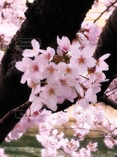 花,木,ピンク,桃色,草木,桜の花,さくら,ブロッサム