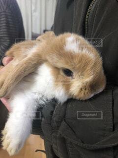 動物,かわいい,子供,ふわふわ,小さい,小動物,抱っこ,ロップイヤー,子ウサギ,もふもふ,ウサギ,仔ウサギ,垂れ耳,バニー