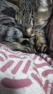 猫,屋内,ネコ科