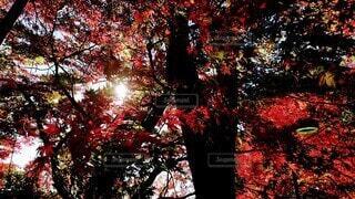 秋,紅葉,森林,樹木