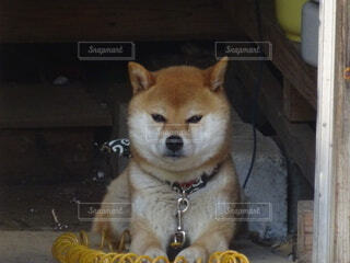 犬,動物,かわいい,わんこ,柴犬,表情,むすっとしている