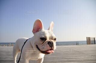 犬,空,動物,フレブル,フレンチブルドッグ,屋外,白