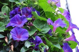 風景,海,花,夏,ビーチ,青,紫,景色,たくさん,リゾート,朝顔,蘭,草木,ガーデン,フローラ,ビーチムーンフラワー