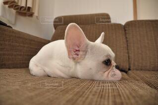 犬,猫,動物,チワワ,ブルドッグ,屋内,白,かわいい,ペット,ソファ,子犬,睡眠,鼻面