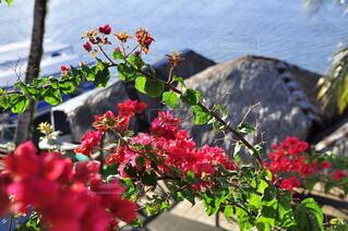 パラオの赤い花 と 花越しの屋根の写真・画像素材[4045371]