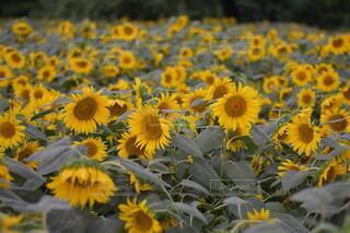 風景,花,屋外,ひまわり,黄色,草木,キク目