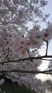空,樹木,桜の花,さくら