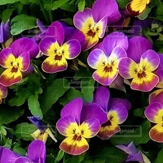花,屋外,紫,パンジー,ビオラ,色・表現