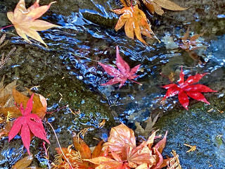 水を流れるもみじの写真・画像素材[4057643]