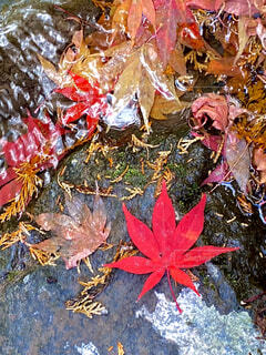 自然,秋,紅葉,屋外,水,水面,葉,もみじ,落ち葉