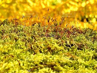 自然,黄色,草,コケ,苔,山吹色