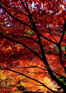 秋,屋外,葉,景色,オレンジ,樹木,カエデ