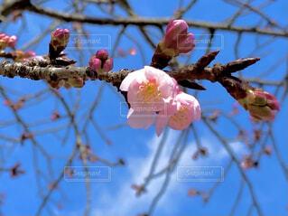空,花,春,屋外,ピンク,枝,青い空,樹木,カラー,草木,桜の花,ブルーム,ブロッサム