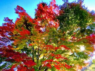 秋,紅葉,屋外,赤,葉,景色,光,樹木,カラー,グラデーション,カエデ