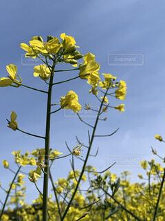 自然,空,花,屋外,綺麗,青,黄色,菜の花,山,景色,美しい,樹木,新緑,草木,フローラ