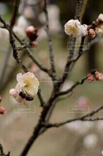花,春,梅,枝,ウメ,蜂,ハチ,草木,ブロッサム,支店