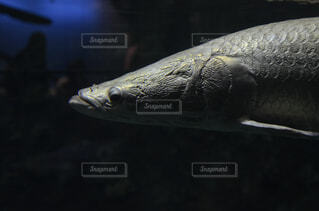 動物,魚,水族館,暗い,ピラルク,淡水魚