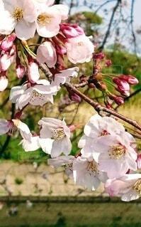 風景,桜,赤