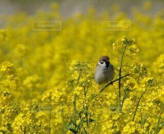 自然,花,春,動物,絶景,花畑,鳥,屋外,かわいい,綺麗,黄色,景色,満開,観光,休憩,旅行,すずめ,雀,野鳥,さわやか,栽培,小鳥,観察,草木,環境,菜花,一羽,止まる,休む,咲く,バードウォッチング