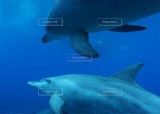 自然,海,動物,イルカ,かわいい,青,泳ぐ,観光,仲良し,水中,レジャー,海中,ダイビング,シュノーケリング,冒険,さわやか,接近,出会い,仲間,太平洋,海獣,スポット,体験,名所,透明感,環境,フィン,ヒレ,並走,ドルフィン,潜る,遭遇,御蔵島,ドルフィンスイム,海洋生物学