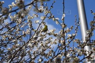 空,花,春,屋外,梅,樹木,メジロ